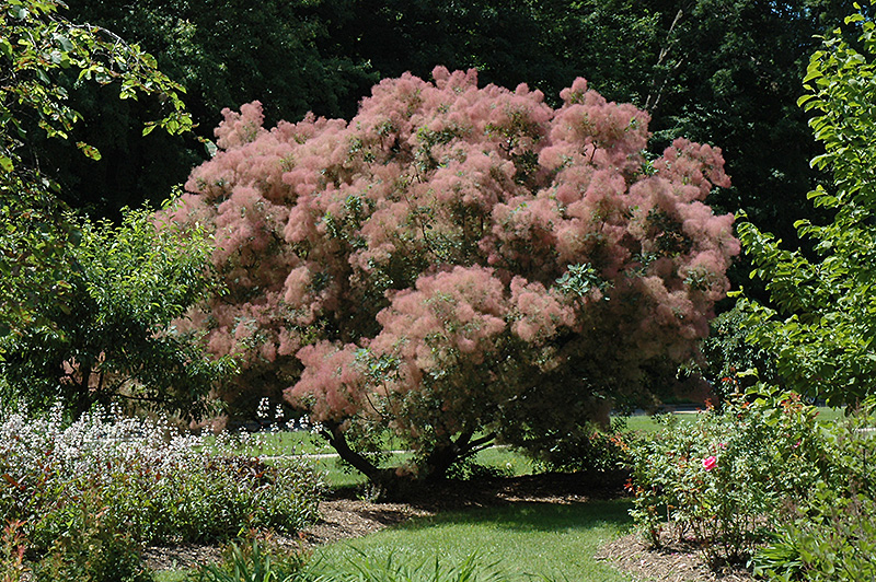 Grace Smokebush Cotinus In