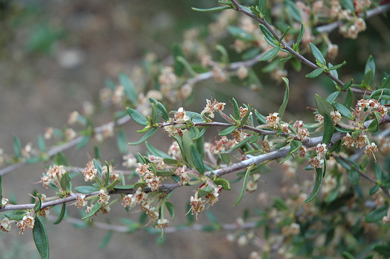 Mountain Mahogany Cercocarpus Ledifolius In Denver