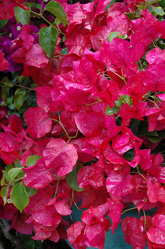 Oo La La 174 Bougainvillea Bougainvillea Monka In Denver