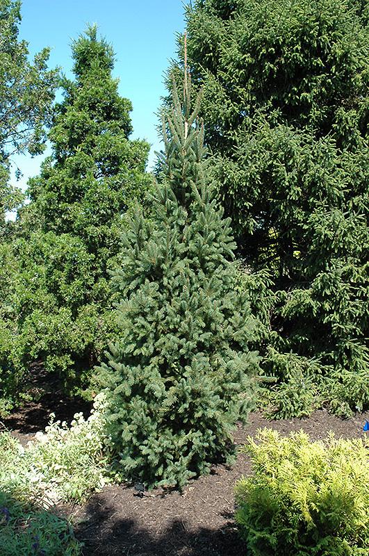 Columnar Norway Spruce Picea Abies Cupressina In Denver