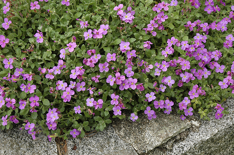 Purple Rock Cress Aubrieta Deltoidea