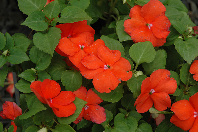 Super Elfin 174 Bright Orange Impatiens Impatiens Walleriana
