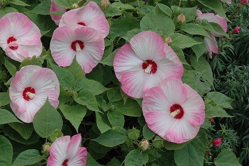 Luna Pink Swirl Hibiscus Hibiscus Moscheutos Luna Pink Swirl In