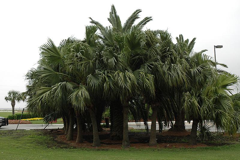 Chinese Fan Palm Livistona Chinensis In Denver