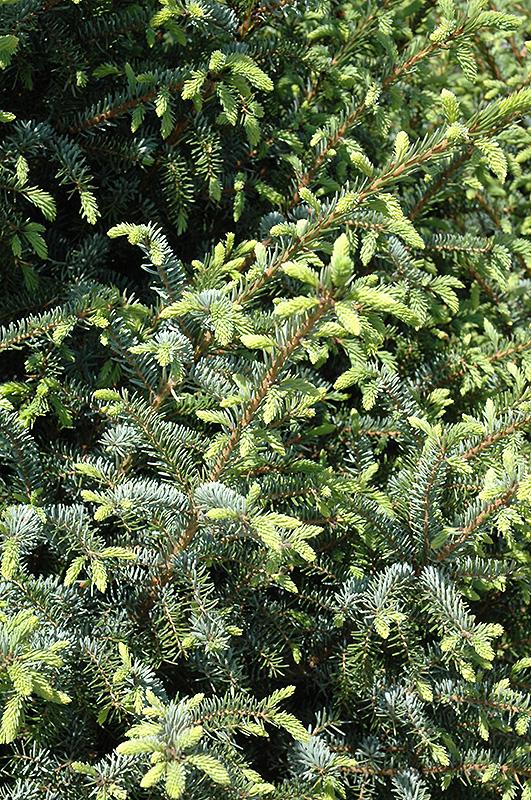 Silver Blue Serbian Spruce Picea Omorika Silberblue In