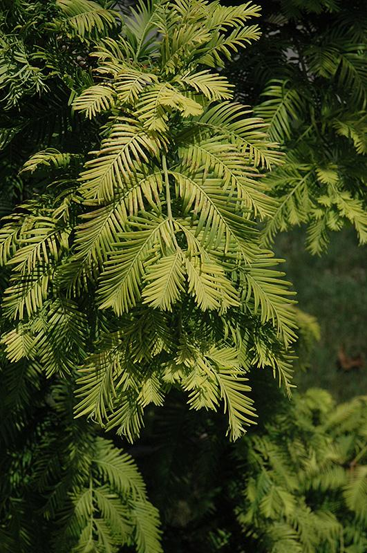 Gold Rush Dawn Redwood Metasequoia Glyptostroboides Gold