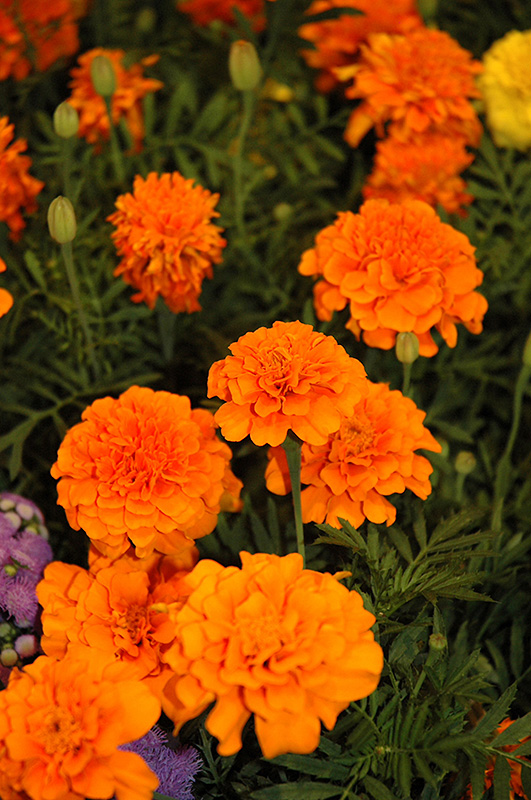 Little Hero Orange Marigold Tagetes Patula Little Hero
