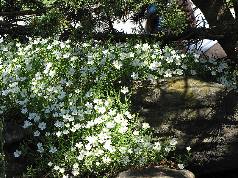 Mountain Sandwort Arenaria Montana In