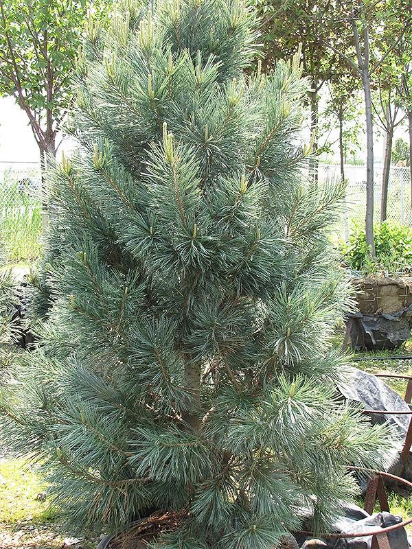 Vanderwolf S Pyramid Pine Pinus Flexilis Vanderwolf S