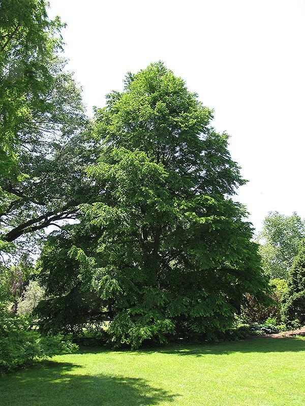 Katsura Tree Cercidiphyllum Oni