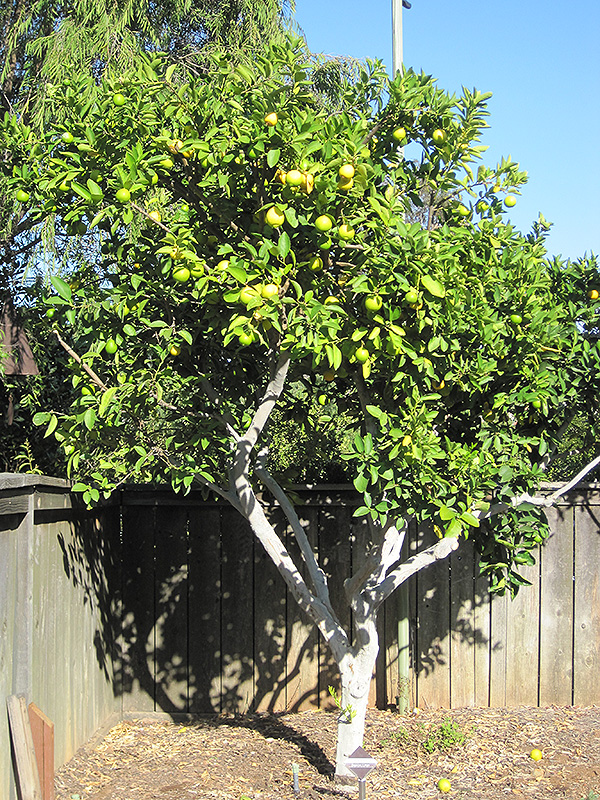 Persian Lime Citrus X Latifolia In Denver Centennial
