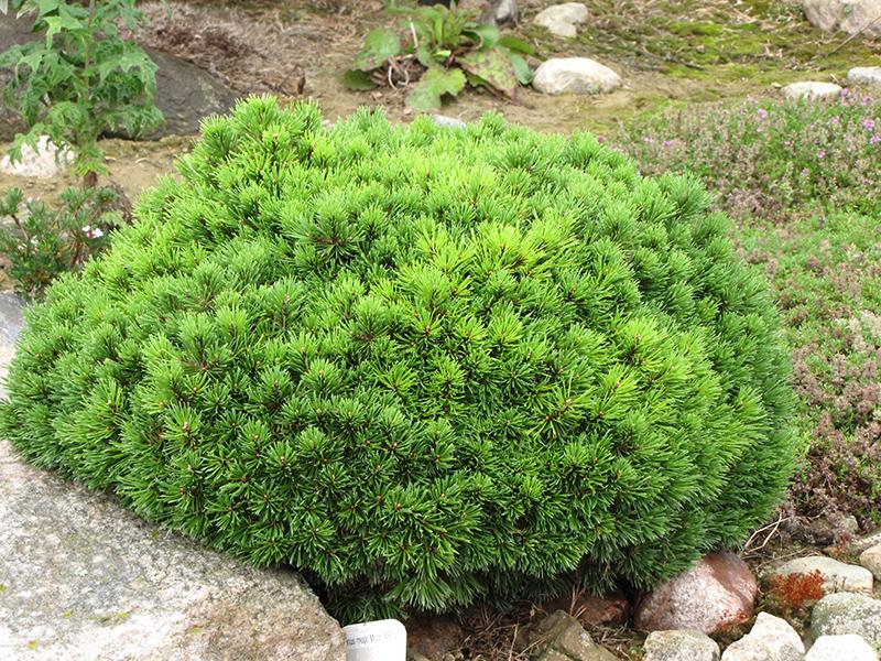 Mops Mugo Pine Pinus Mugo Mops In Denver Centennial