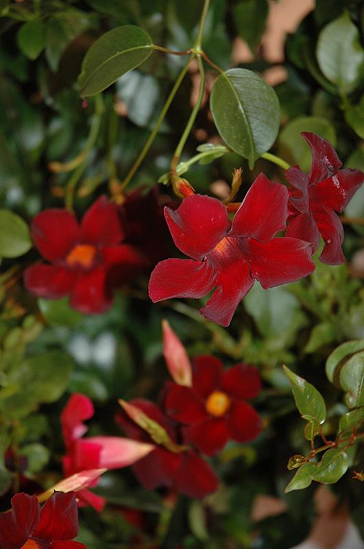 Sun Parasol® Pretty Deep Red Mandevilla (Mandevilla 'Sun ...
