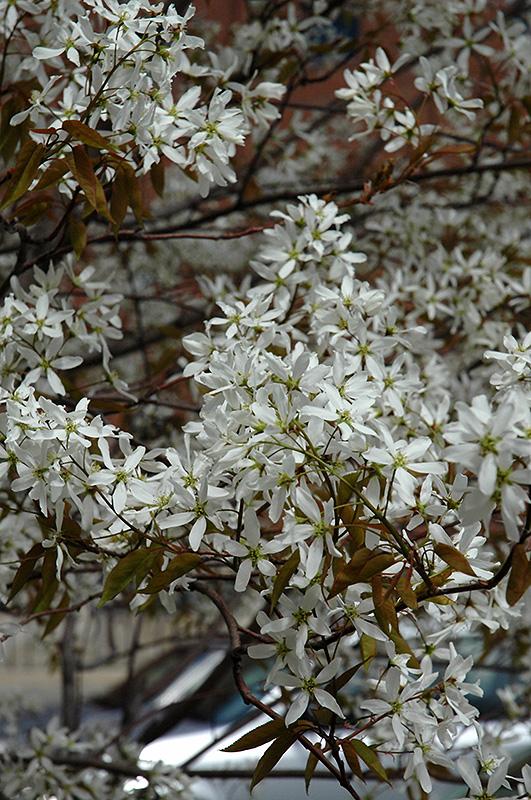 Spring Flurry Serviceberry Amelanchier Laevis Jfs Arb