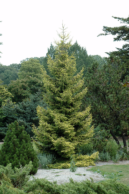 Skylands Golden Spruce Picea Orientalis Skylands In