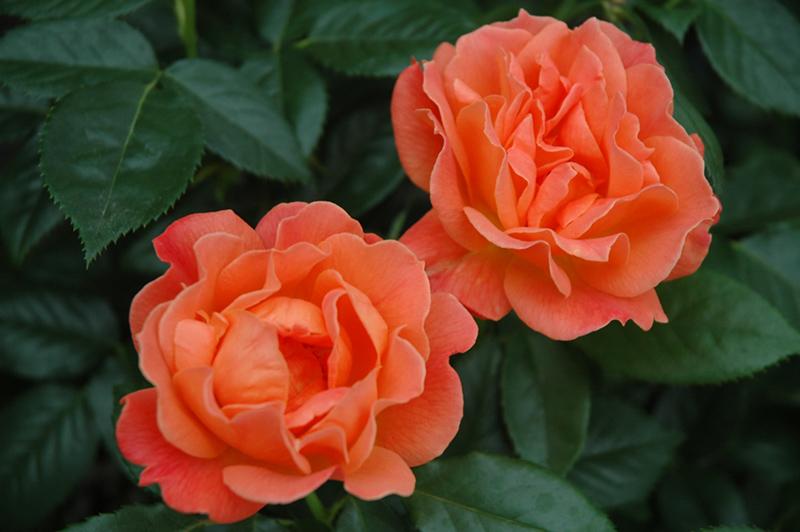 Simple Rose Garden: Livin' Easy™ Rose (Rosa 'HARwelcome') In Denver Centennial