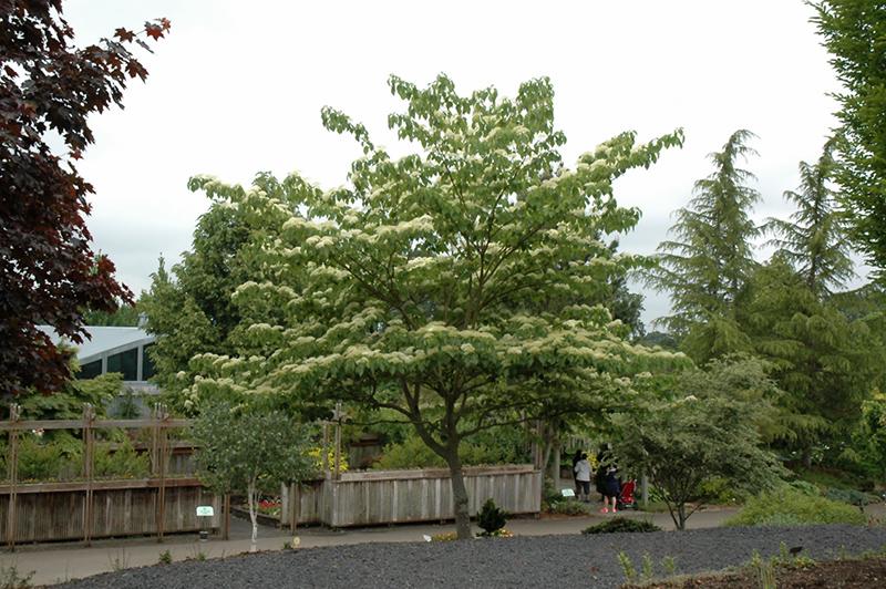 June Snow Giant Dogwood Cornus Controversa June Snow Jfs