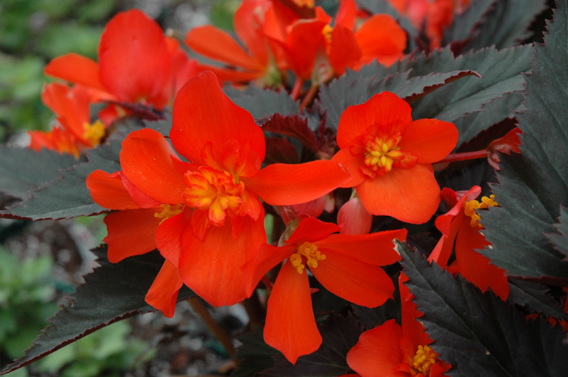Unstoppable Upright Fire Begonia Begonia Unstoppable