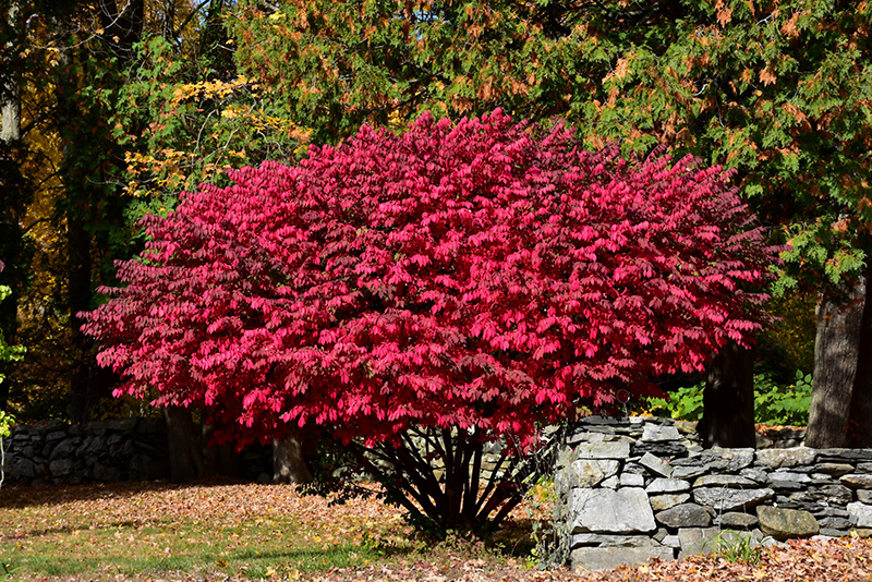 Winged Burning Bush Euonymus Alatus In Denver Centennial