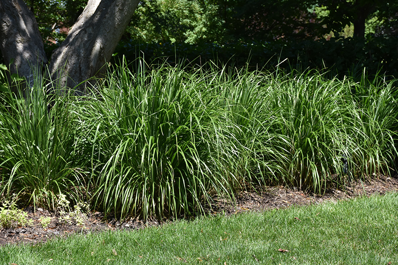Korean Reed Grass Calamagrostis Brachytricha In Denver
