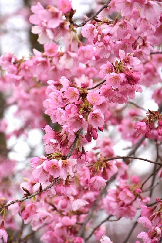 Pink Cascade 174 Weeping Cherry Prunus Ncph1 In Denver
