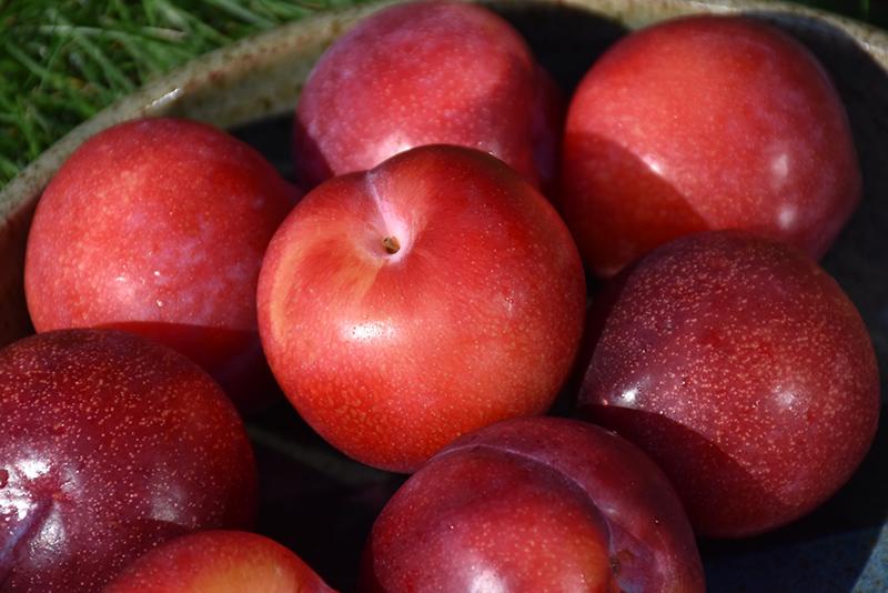 Santa Rosa Plum Prunus Santa Rosa In Denver Centennial