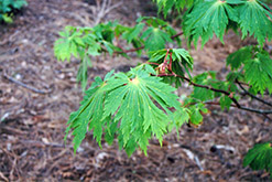 Fullmoon Maple (Acer japonicum) at Tagawa Gardens