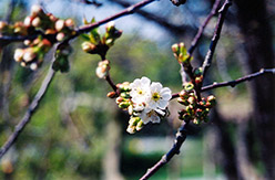 Montmorency Cherry (Prunus 'Montmorency') at Tagawa Gardens