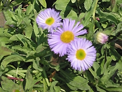 Sea Breeze Fleabane (Erigeron speciosus 'Sea Breeze') at Tagawa Gardens