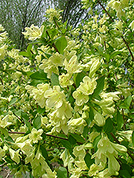 Lemon Ice Weigela (Weigela florida 'Lemiczam') at Tagawa Gardens