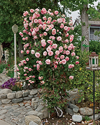 Pearly Gates Rose (Rosa 'WEKmeyer') at Tagawa Gardens