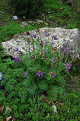 Pasqueflower (Pulsatilla vulgaris) at Tagawa Gardens