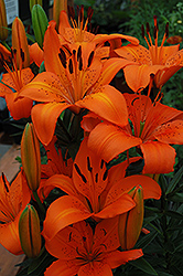 Orange Pixie Lily (Lilium 'Orange Pixie') at Tagawa Gardens