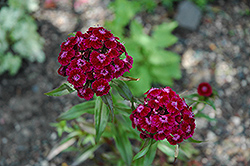 Sweet William (Dianthus barbatus) at Tagawa Gardens