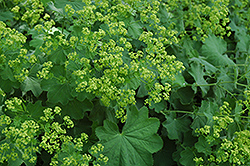 Lady's Mantle (Alchemilla mollis) at Tagawa Gardens