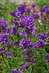 Clustered Bellflower (Campanula glomerata) at Tagawa Gardens