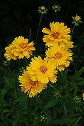 Early Sunrise Tickseed (Coreopsis 'Early Sunrise') at Tagawa Gardens