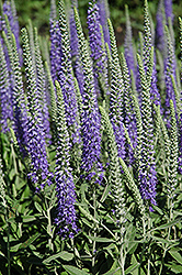 Wooly Speedwell (Veronica spicata 'var. incana') at Tagawa Gardens
