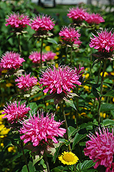 Marshall's Delight Beebalm (Monarda 'Marshall's Delight') at Tagawa Gardens