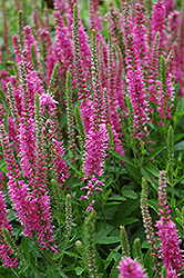 Red Fox Speedwell (Veronica spicata 'Red Fox') at Tagawa Gardens