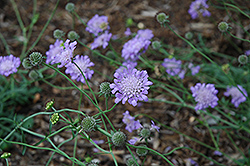 Butterfly Blue Pincushion Flower (Scabiosa 'Butterfly Blue') at Tagawa Gardens
