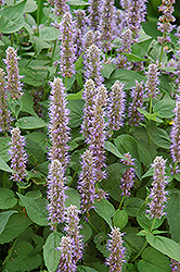 Blue Fortune Anise Hyssop (Agastache 'Blue Fortune') at Tagawa Gardens