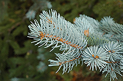 Blue Colorado Spruce (Picea pungens 'var. glauca') at Tagawa Gardens