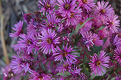 Woods Pink Aster (Aster 'Woods Pink') at Tagawa Gardens