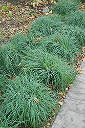Blue Sedge (Carex glauca) at Tagawa Gardens