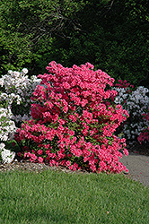 Rosy Lights Azalea (Rhododendron 'Rosy Lights') at Tagawa Gardens