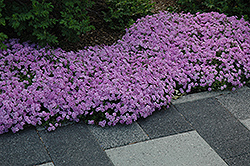 Fort Hill Moss Phlox (Phlox subulata 'Fort Hill') at Tagawa Gardens