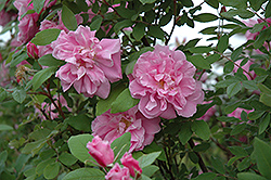 Therese Bugnet Rose (Rosa 'Therese Bugnet') at Tagawa Gardens