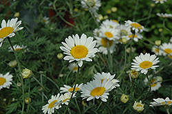 Sauce Hollandaise Marguerite Daisy (Anthemis tinctoria 'Sauce Hollandaise') at Tagawa Gardens