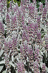 Lamb's Ears (Stachys byzantina) at Tagawa Gardens